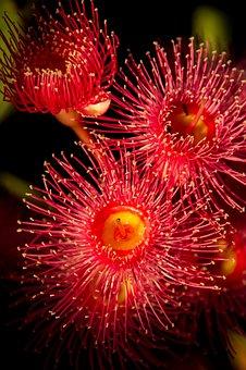 Eucalyptus Flowers, Flowers, Blossom, Australian, Red