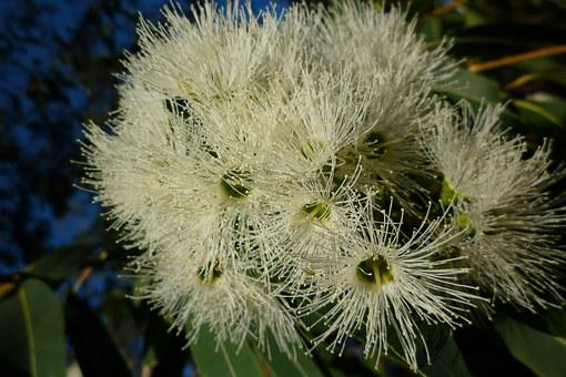 White, Flowering Gum, Australia, Eucalyptus, Native