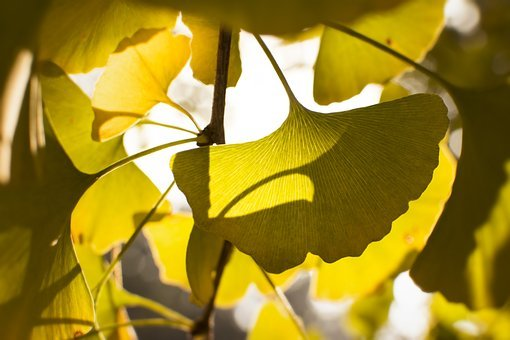 Ginkgo, Sunshine, Backlighting, Gold, Autumn, Tree
