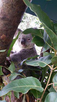 Koala, Australia, Wildlife, Eucalyptus, Animal, Mammal