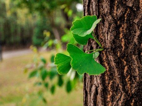 Ginkgo, Tree, Leaf