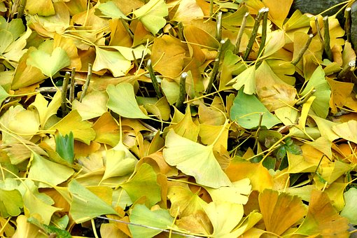 Ginkgo Leaves, Autumn, Leaves, Coloring