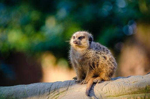 Meerkat, Suricate, Mammal, Sentinel Desert