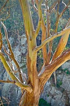 Eucalyptus, Trunk, Native, Nature, Australia, Bark