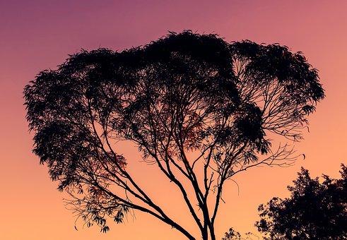 Eucalyptus, Tree, Sunset, Nature, Evening