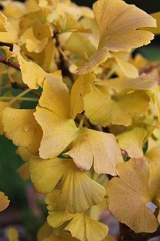 Ginkgo, Yellow, Autumn, Plant, Ginkgo Leaf, Flora