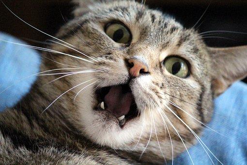 Cat, Annoyed, Mauzen, Teeth, Stress, Stroke, Annoy