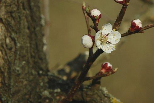 Apricot Blossom, Red, White, Tree, Apricot, Bark, Macro