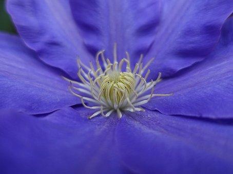 Clematis, Bloom, Flower, Garden, Purple, Macro