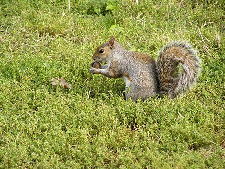 Grey Squirrel, Squirrel, Rodent, Cute, Nager, Animals