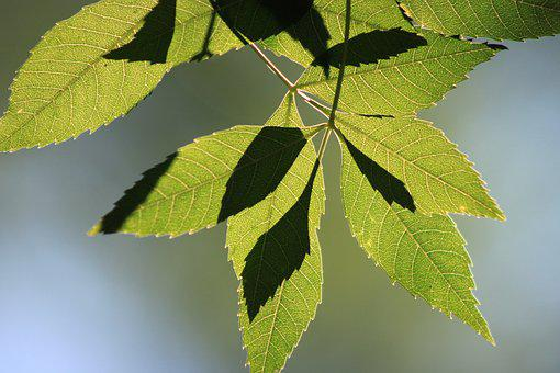 Leaves, Reverse Light, Branch, Tree, Green, Nature