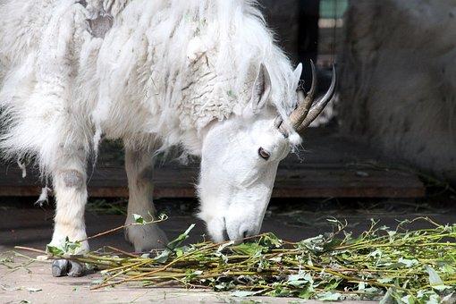 Mountain Goat, White Goat, Goat, Oreamnos Americanus
