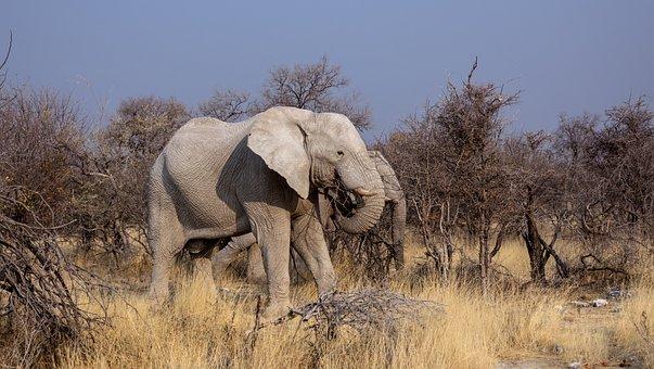Elephant, Botswana, Safari, Drought, Animals, Africa