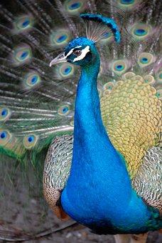 Peacock, Bird, Avian, Colorful, Animal, Nature, Tail