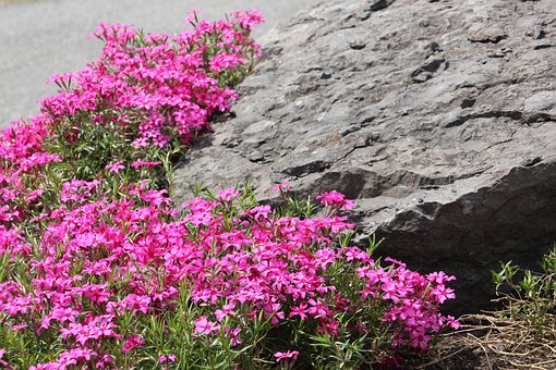 Rock, Pink Flowers, Flower, Pink, Nature, Plant, Stone