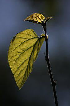 Leaves, Reverse Light, Branch, Nature, Green, Mulberry