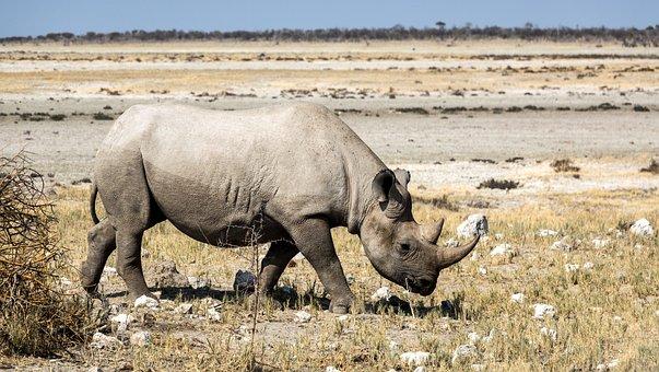 Rinozeros, Rhino, Breitmaulnashorn, Safari, Africa