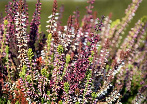 Erika, Close, Pink, Heather, Flower, Bloom, Plant