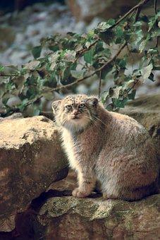 Cat, Lynx, Sitting, Wild, Coat, Hair, Moustache, Feline