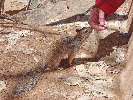 Squirrel, Animal, Ground Squirrel, Nature, Rodents