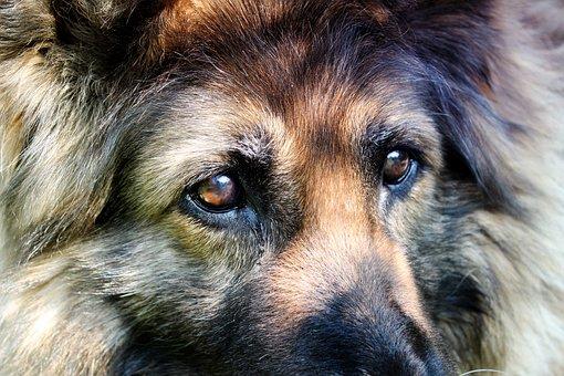 Schäfer Dog, Dog Eyes, Dog, Animals, Hair, Fur, View