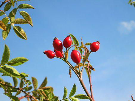 Rose Hips, Blue, Sky, Green, Leaves, Nature, Bush