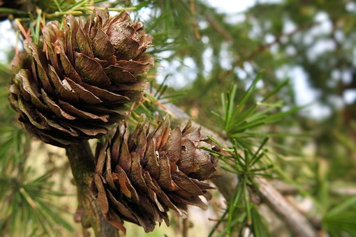 Larch Cones, Brown Tap, Larch, Pine Family