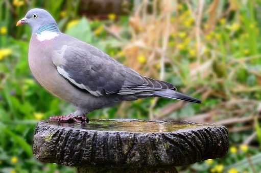 Woodpigeon, Pigeon, Side-forward View, Perched