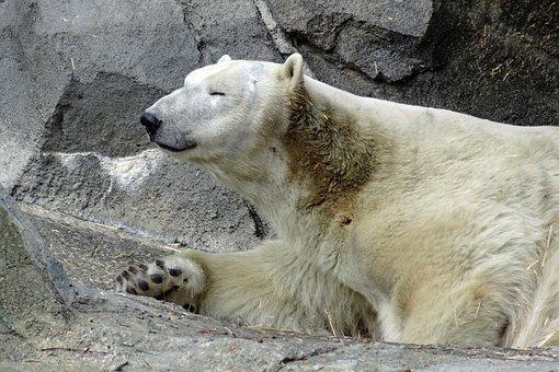 Polar Bear, Bear, Zoo, Animal, Mammal, Arctic, White