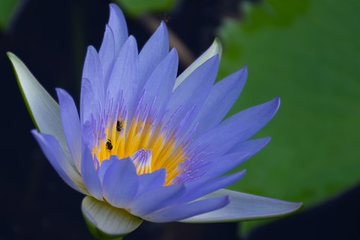 Nymphaea Stellata, Water Lilly, Blue Water Lilly