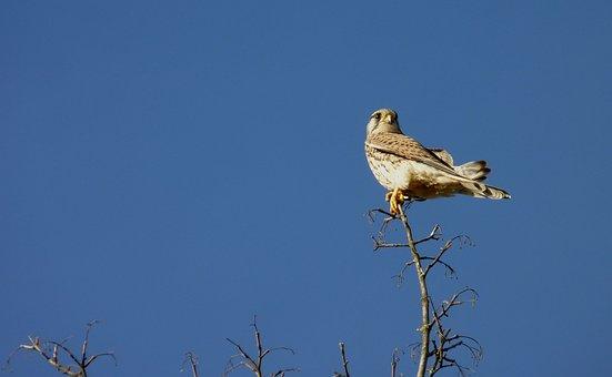 Falcon, Bird, Sky, Sit, Branch, Nature, Rest, Landscape
