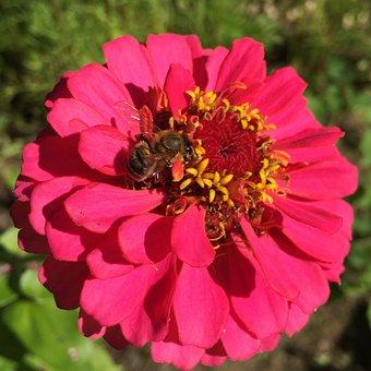 Zinnia, Bee, Honeybee, Pollination, Wildlife, Pollen