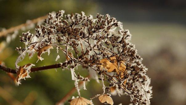 Flower, Hortensia, Hydrangea, Wilted, White, Winter