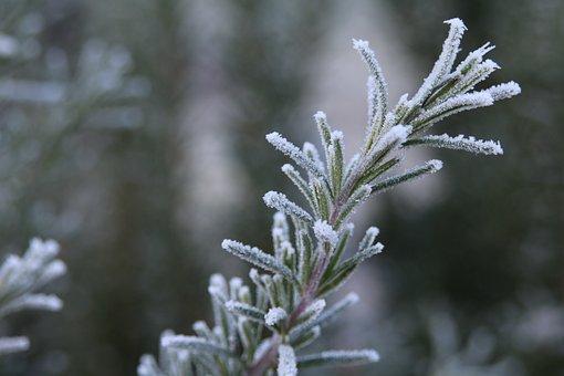 Rosemary, Frost, Ripe, Rau, Hoarfrost, Nature, Winter
