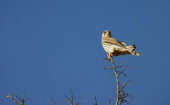 Falcon, Bird, Sky, Sit, Branch, Nature, Rest, Landscape