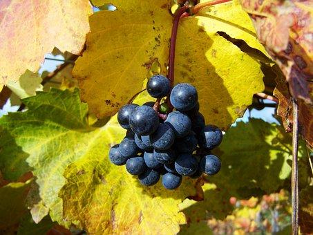 Red Grapes, Ripe Fruit, Autumn