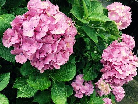Hydrangea, Rainy Season, Purple Flowers, Flowers