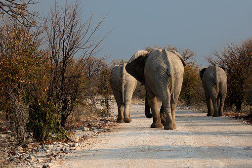 Elephant, Botswana, Wilderness, Road, Drought