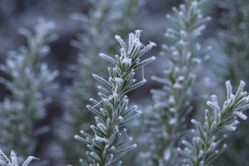 Rosemary, Frost, Ripe, Winter, Hoarfrost, Cold, Frozen
