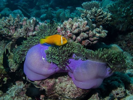 Underwater, Diving, Anemone, Reef, Sea, Anemone Fish