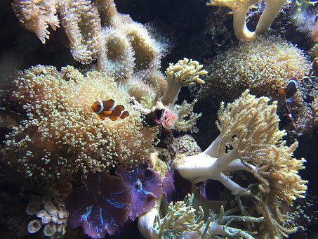 Tropical, Reef, Aquarium, Fish, Clown Fish, Coral