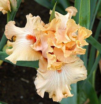 Iris, Flower, Bloom, Floral, Petal, Botany, Blossom