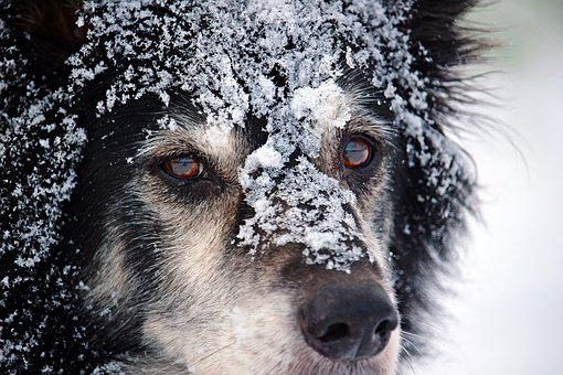 Border, Dog, British Sheepdog, Collie, Border Collie