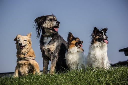 Four Dogs, Pack, Papillon, Hybrids, Grass, Sky, View