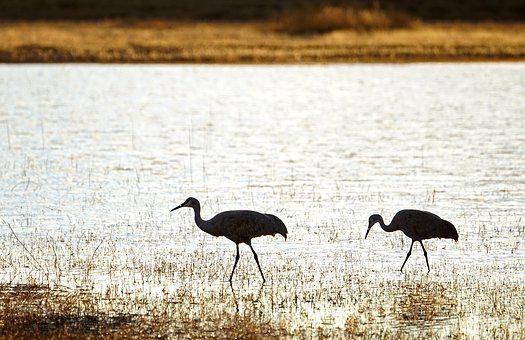 Cranes, Birds, Silhouette, Nature, Feather, Wild