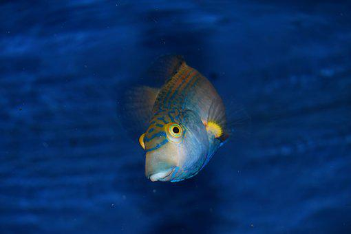 Fish, Blue, Animal, Water, Nature, Ocean, Sea, Aquatic