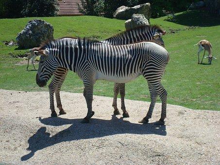 Zebra, Animal, Zoo, Stripes, Equine
