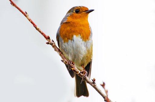 Bavaria, Bird, Branch, Breast, Card, Erithacus Rubecula