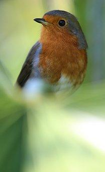 Robin, Bird, Redbreast, Red Breast, Songbird, Palm Tree