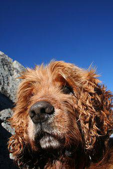 Cocker Spaniel, Dog Portrait, Dog, Blue Sky
